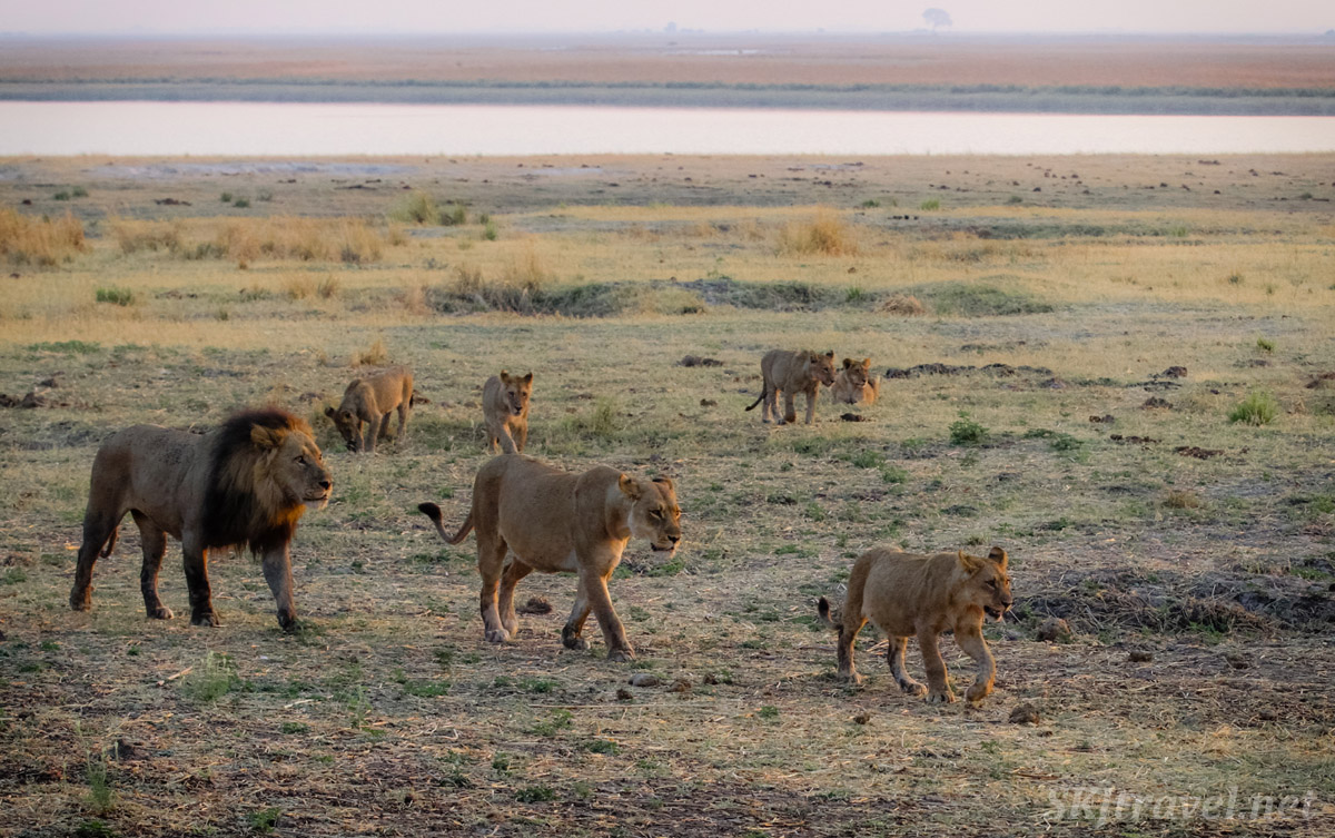 Lion pride heading home at sunset from from marshy plains in Chobe National Park in the Caprivi Strip across from Namibia.