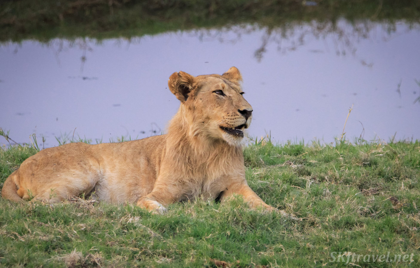 Young lion at the water's edge, Chobe National Park in the Caprivi Strip across from Namibia.