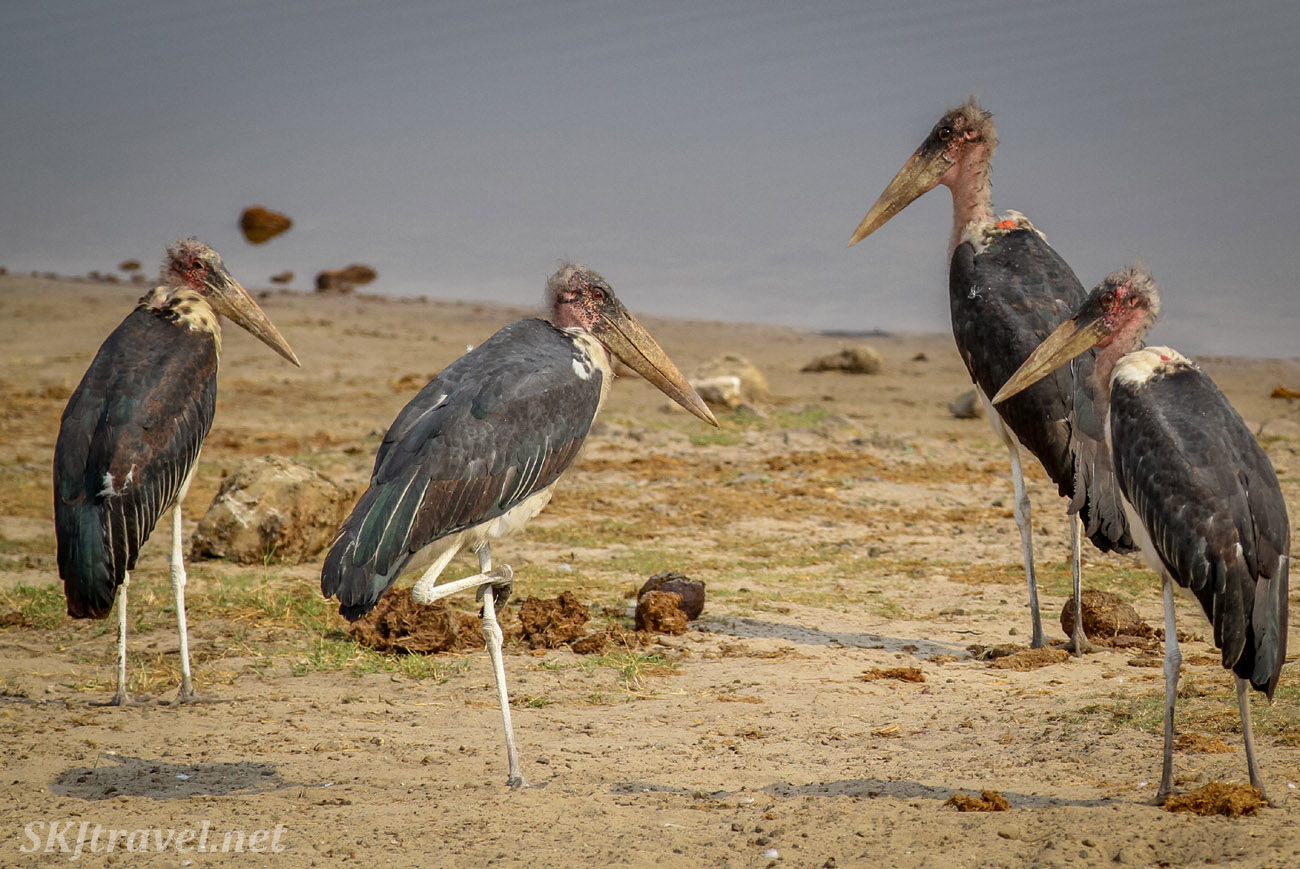 Group of marabou storks near the water in Chobe National Park, Botswana. Okavango Delta.