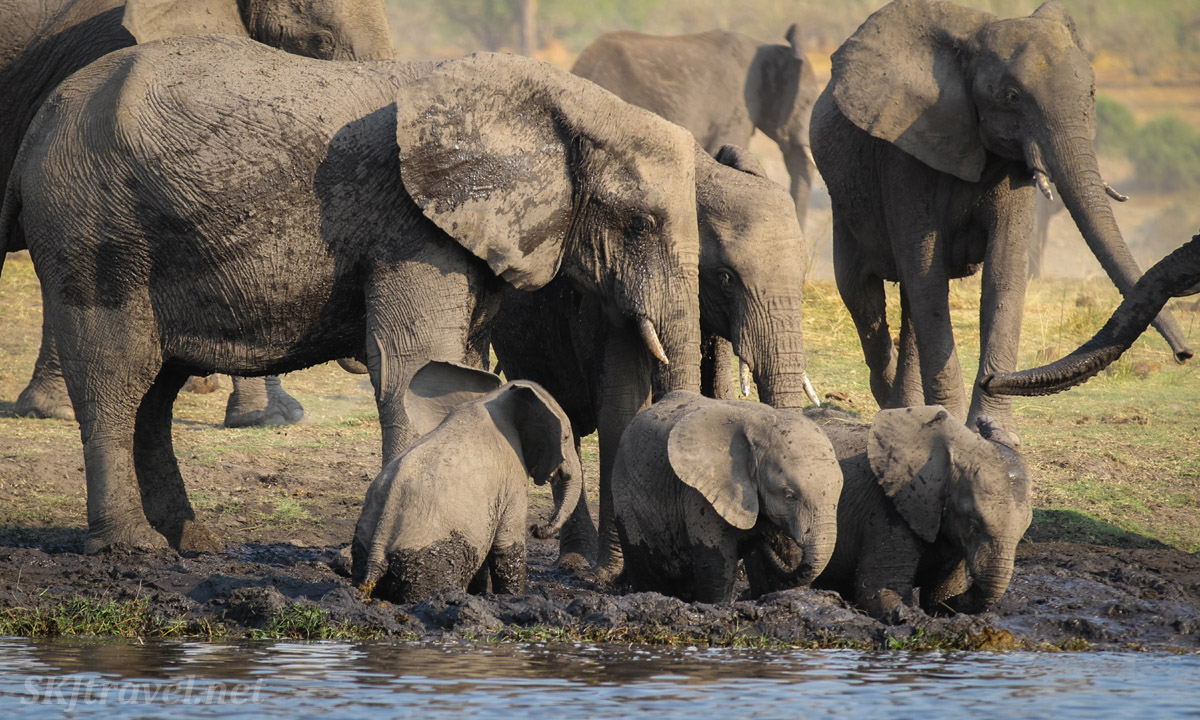Row of baby elephants stepping into the mud along the bank of the Chobe River, a row of adults behind them. Botswana.