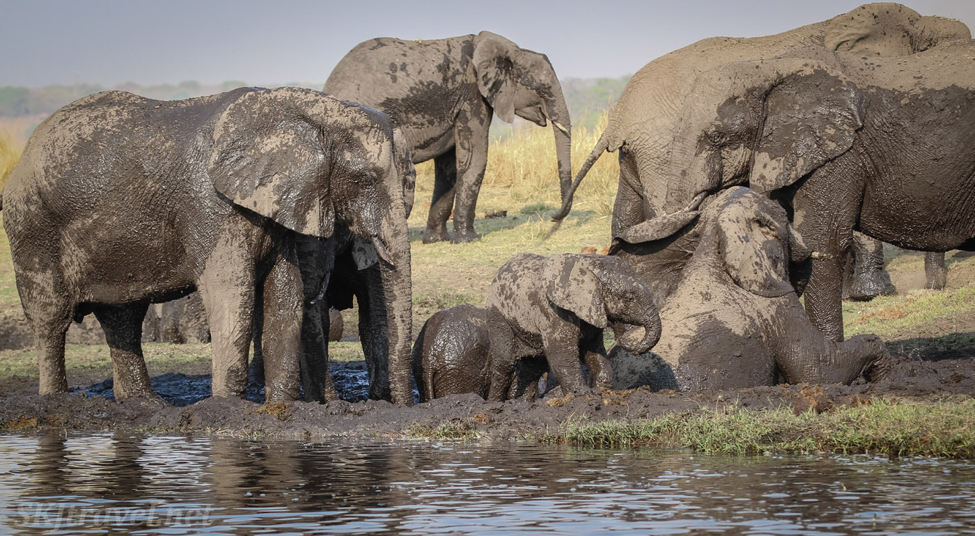 Elephant family playing in the mud on the banks of the Chobe River, Botswana.