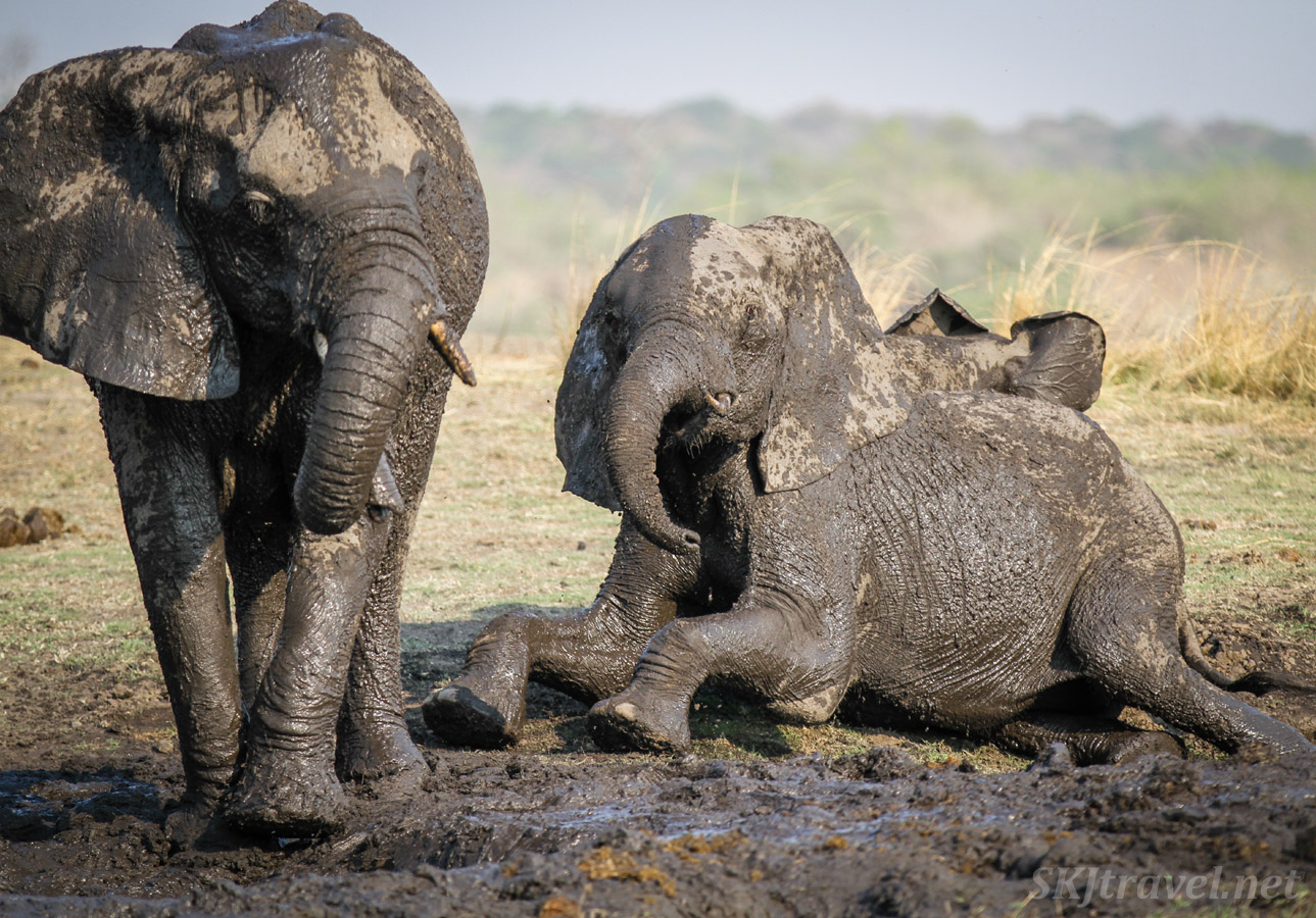 Very muddy baby elephants on the banks of the Chobe River, Botswana.