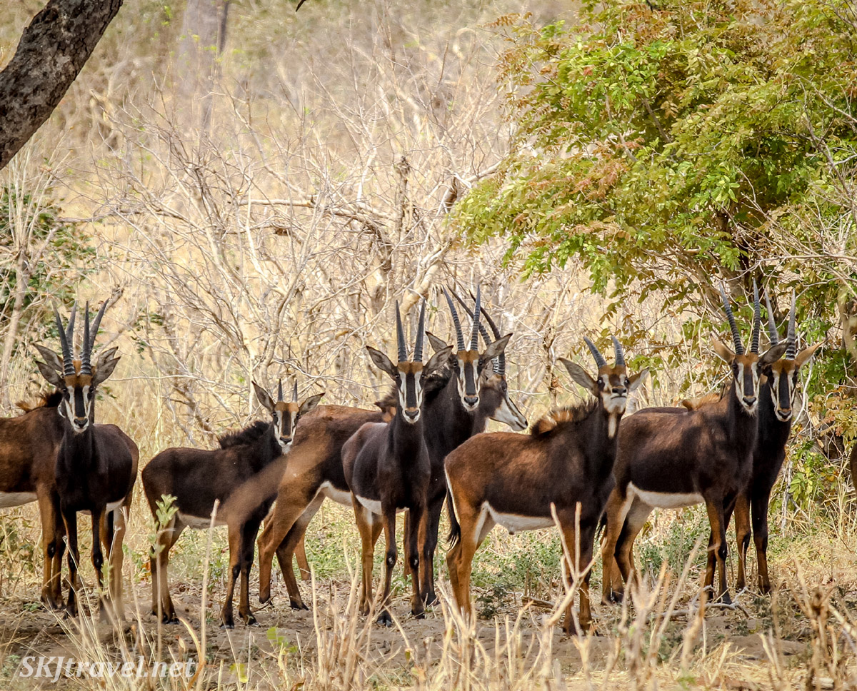 Small group of sable antelope, Hippotragus niger, in the woods in Chobe National Park, Botswana.