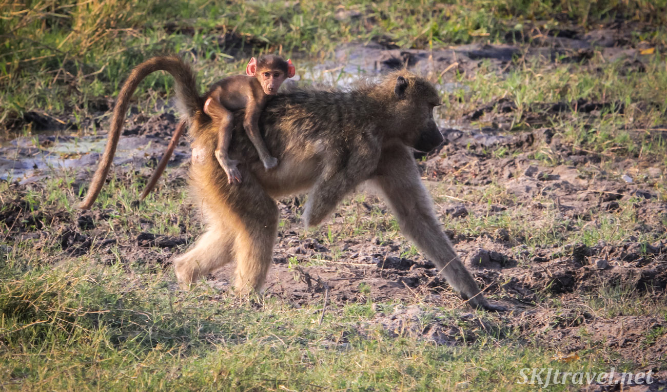 Mother baboon missing half of one arm walking through grass with her baby sitting on her back. Khwai Concessions, Okavango Delta, Botswana.