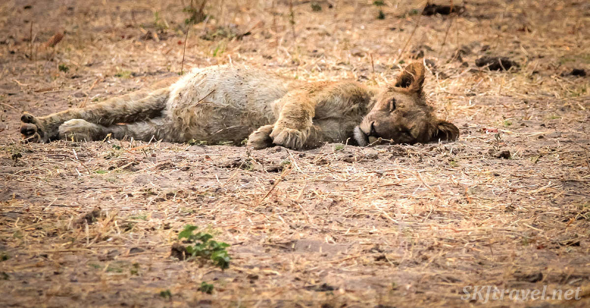 Lion cub bloated full of elephant meat. Chobe National Park, Botswana.