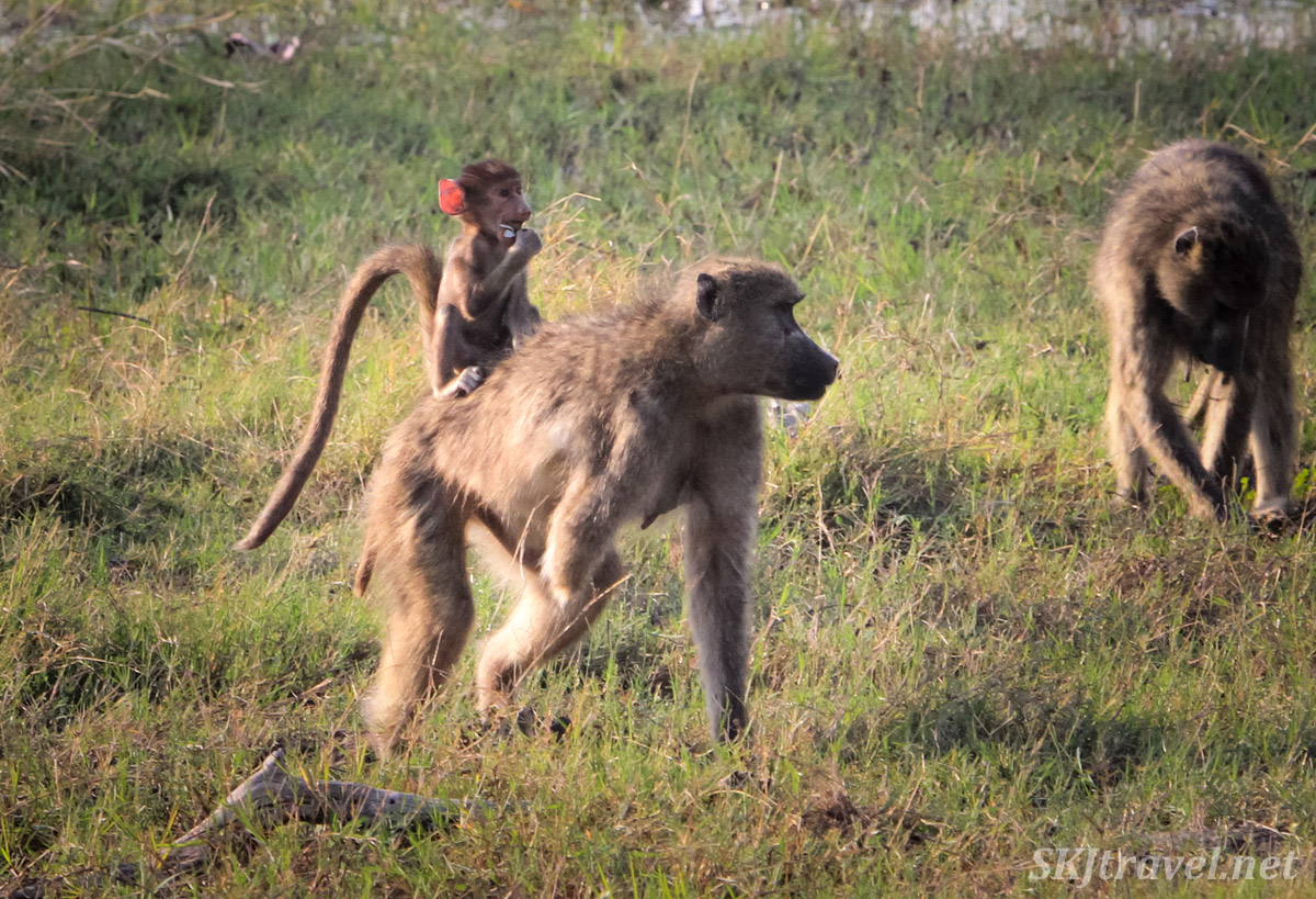 A mother baboon missing the bottom half of one of her arms carrying her baby on her back who's eating a flower. Khwai Concessions, Okavango Delta, Botswana.