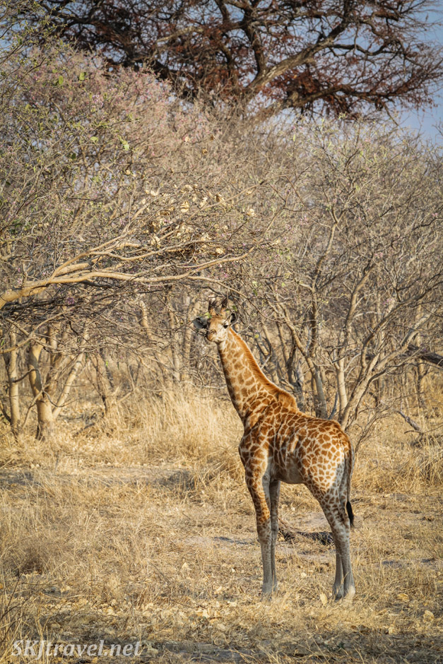 Very young giraffe, shorter than the acacia tree branches. Khwai Concessions, Botswana.