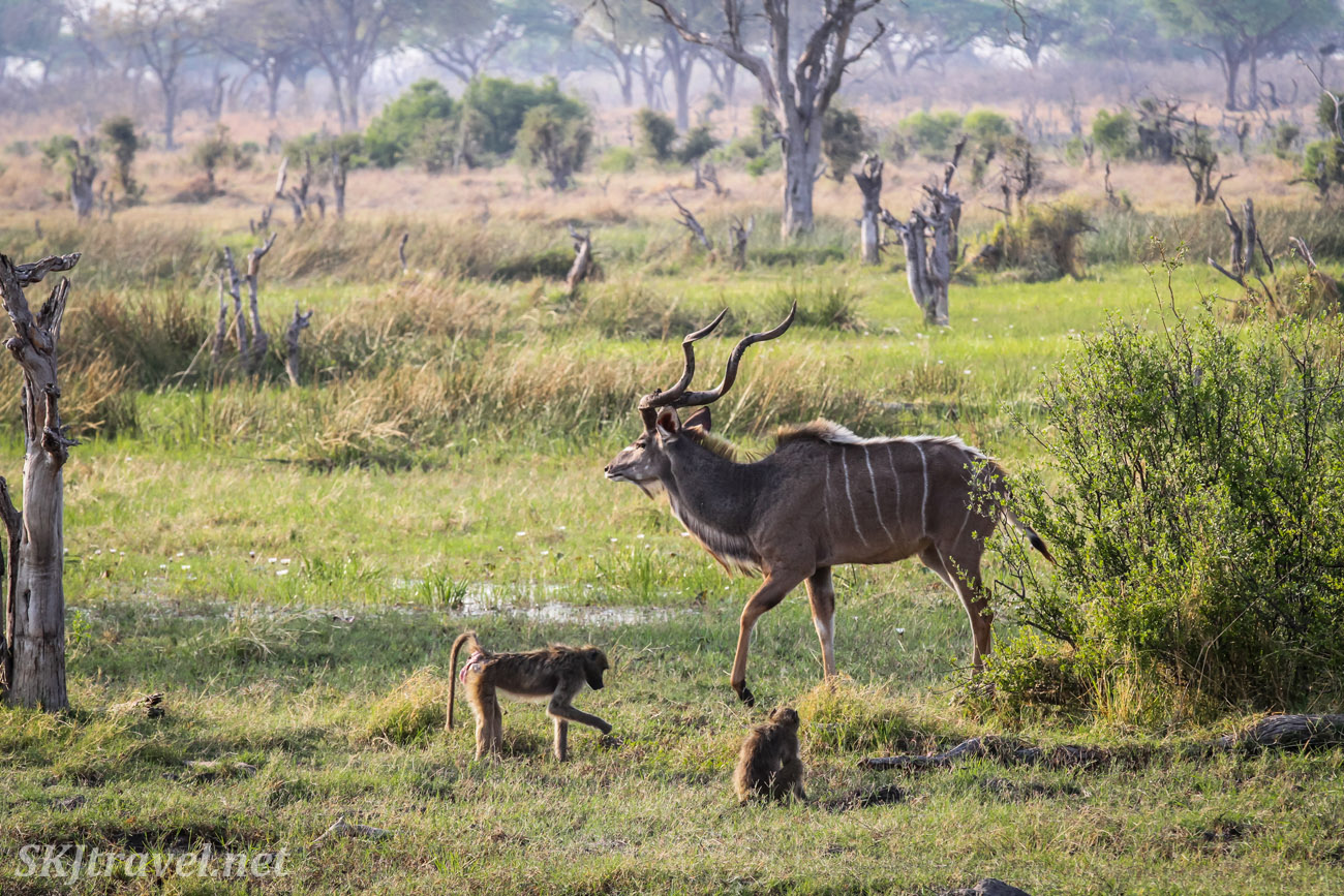 Adult male kudu strolling across with marshes of Khwai Concessions with baboons playing around him. Okavango Delta, Botswana.