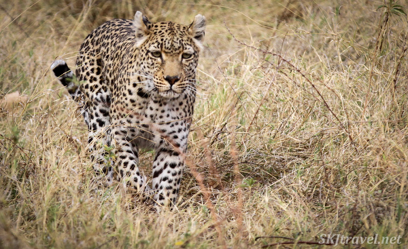 Leopard (leopardess) crosses a field of golden grass, Khwai Concessions, Botswana.