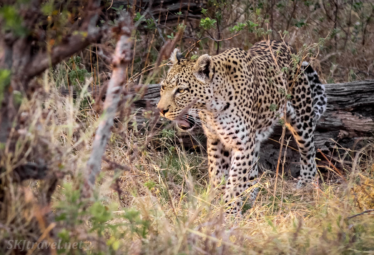 Leopard (leopardess) emerges from the woods, Khwai Concessions, Botswana.