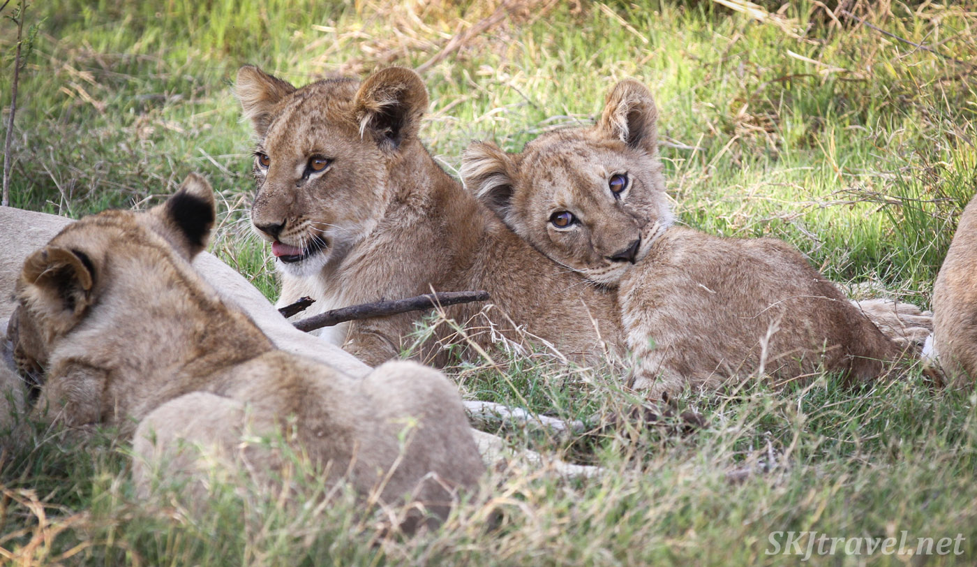 Lion cubs snuggling in the shade, Khwai Concessions, Botswana.
