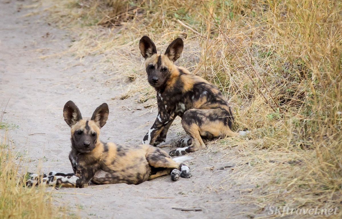African wild dog, or painted dog, puppies taking a rest break from playing, Khwai Concessions, Botswana.