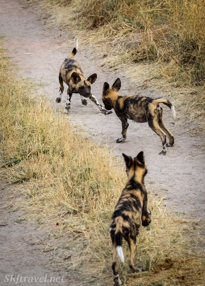 African wild dog, or painted dog, puppies playing, chasing each other, Khwai Concessions, Botswana.