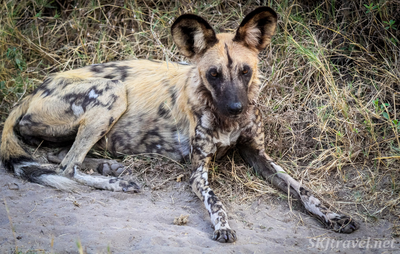 African wild dog, or painted dog. Khwai Concessions, Botswana. Okavango Delta.