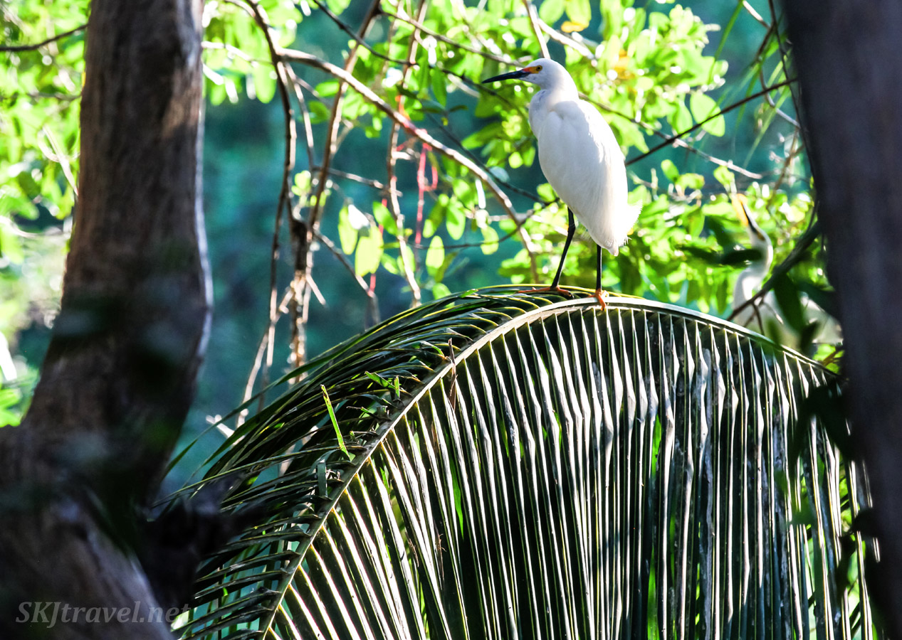 Egret standing on a fallen palm leaf. Popoyote Lagoon crocodile refuge, Playa Linda, Ixtapa, Mexico.