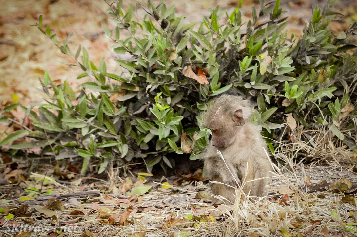 Baby baboon very interested in something on the ground in front of him. Moremi Game Reserve, Botswana.