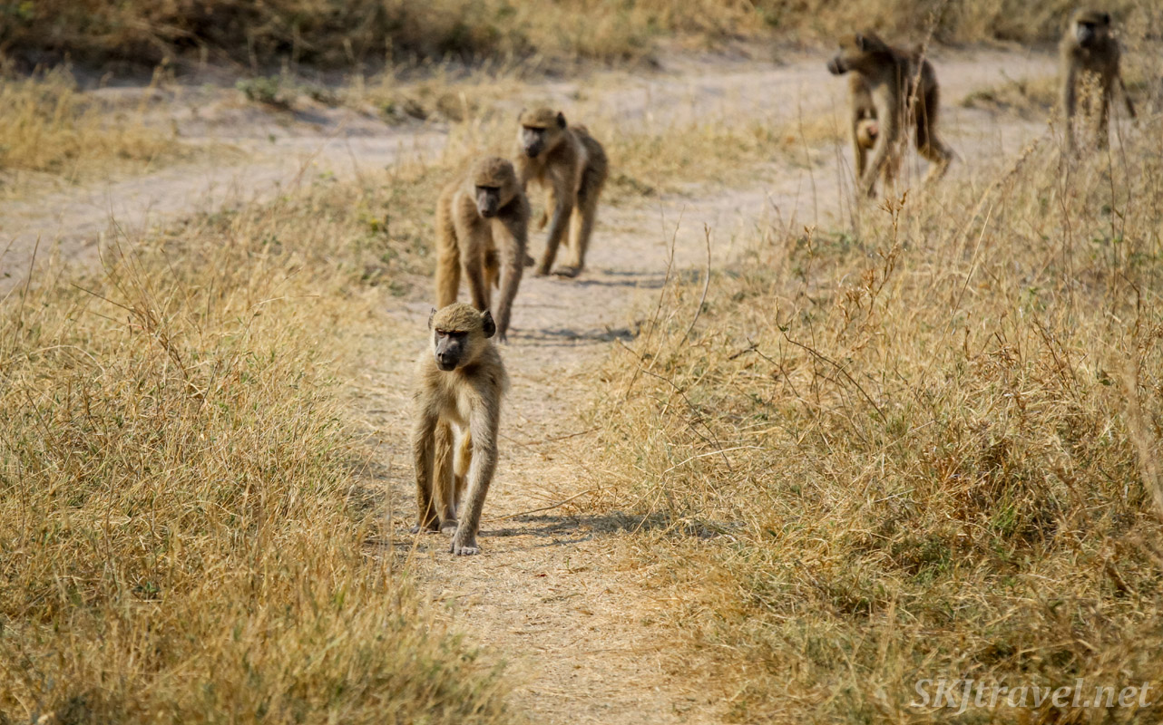 Baboon troupe single file down the road, Moremi Game Reserve, Botswana.