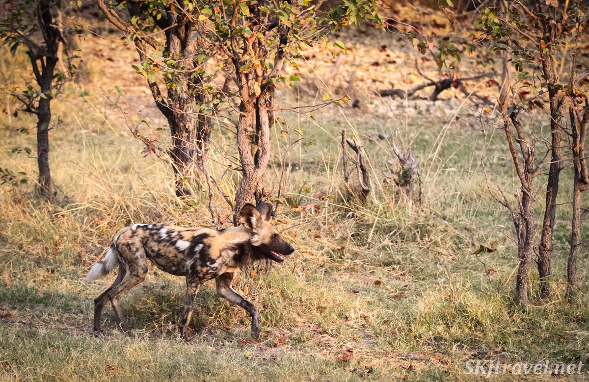 African wild dog, or painted dog, running through the bushes in Moremi Game Reserve, Botswana.