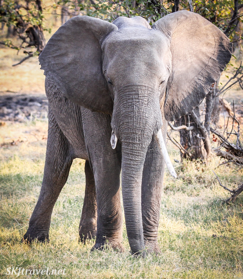 Elephant staring at us, ears fanned out, Moremi Game Reserve, Botswana.