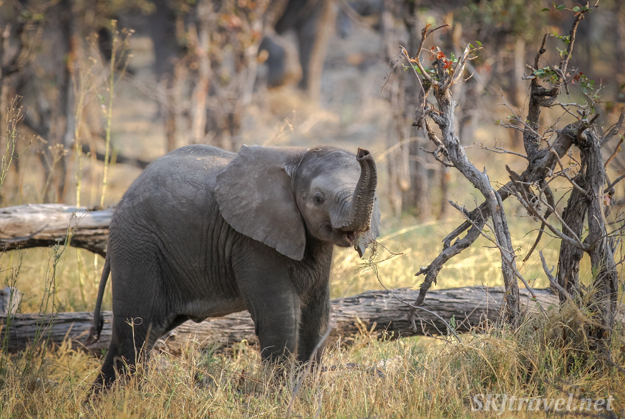 Baby elephant posing for me in the shady woodlands of Moremi Game Reserve, Botswana.