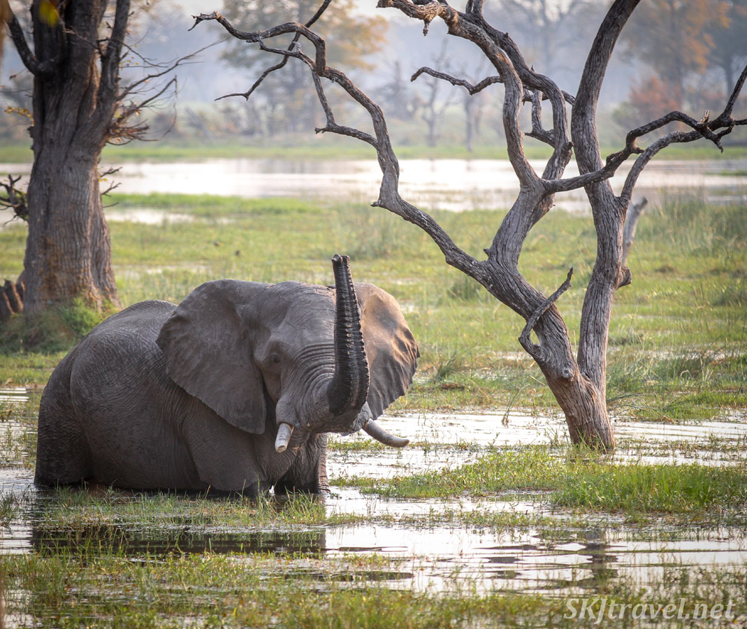 Elephant wading and playing in a deep, marshy pond, Moremi Game Reserve, Botswana.