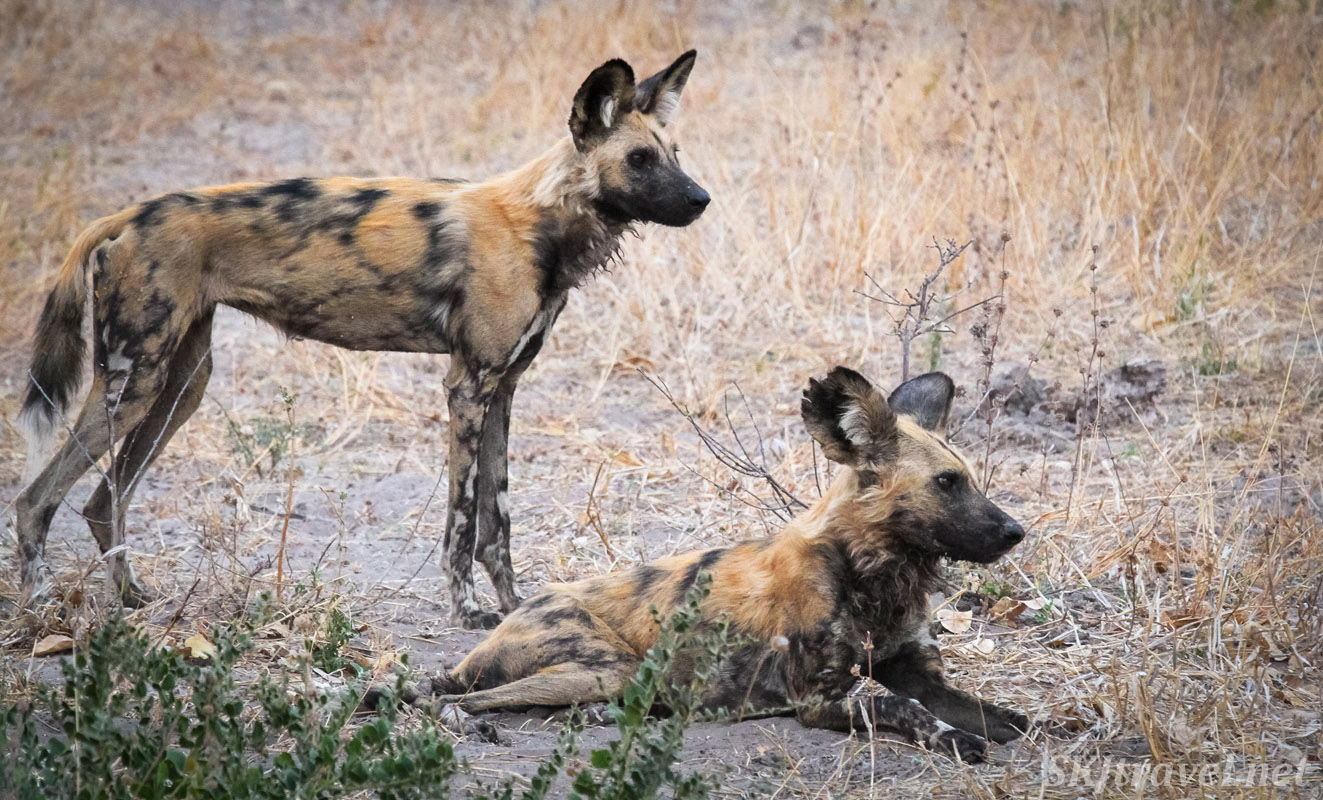 African wild dog pair resting, one with a very tattered ear, Moremi Game Reserve, Botswana.