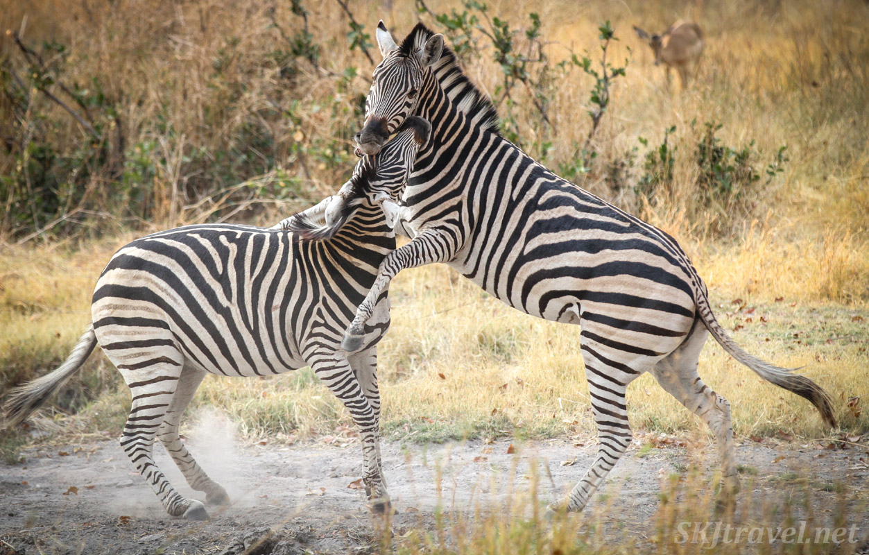 Zebras nipping at each other in the woodlands of Moremi Game Reserve, Okavango Delta, Botswana.