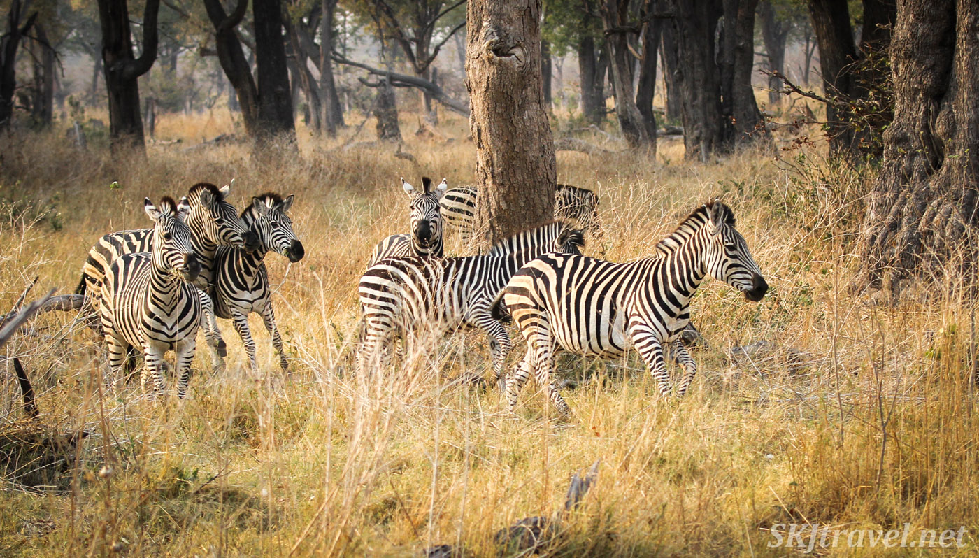 Zebras in the woodlands of Moremi Game Reserve, racing each other around trees. Okavango Delta, Botswana.