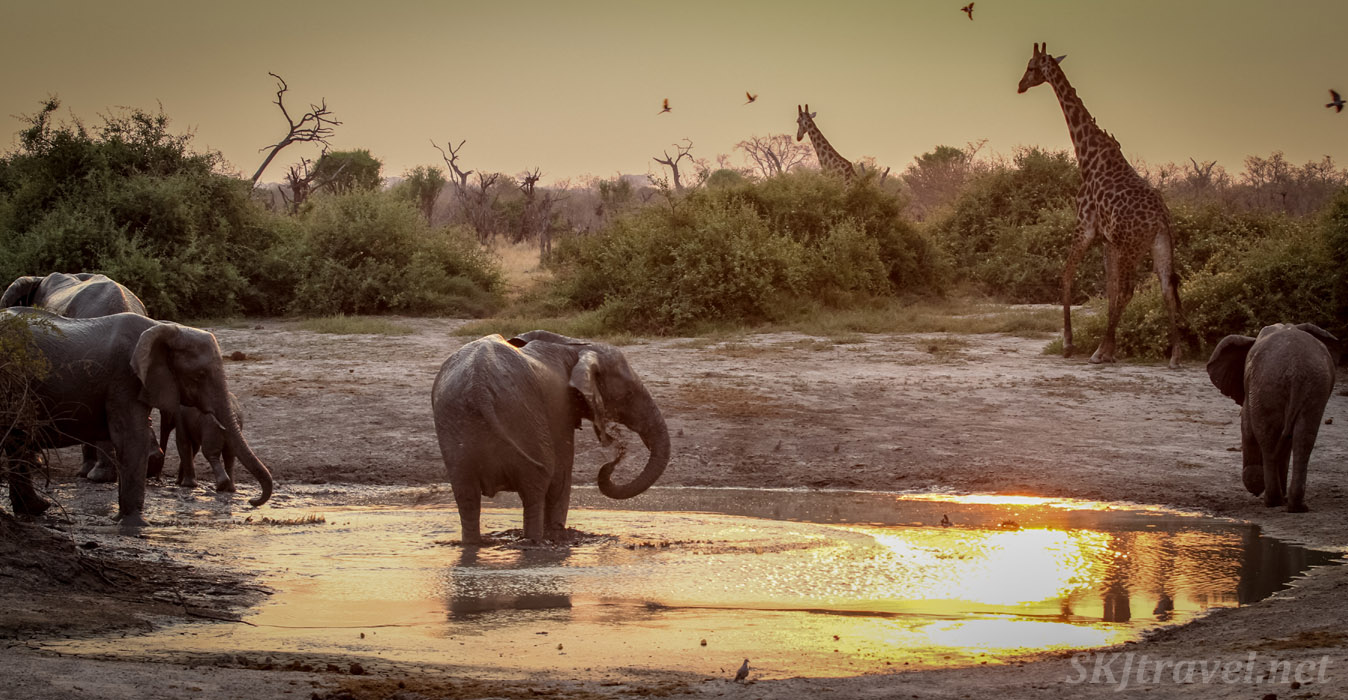 Giraffe, elephants, and other animals come to the water hole as the sun sets in Savuti, Okavango Delta, Botswana.