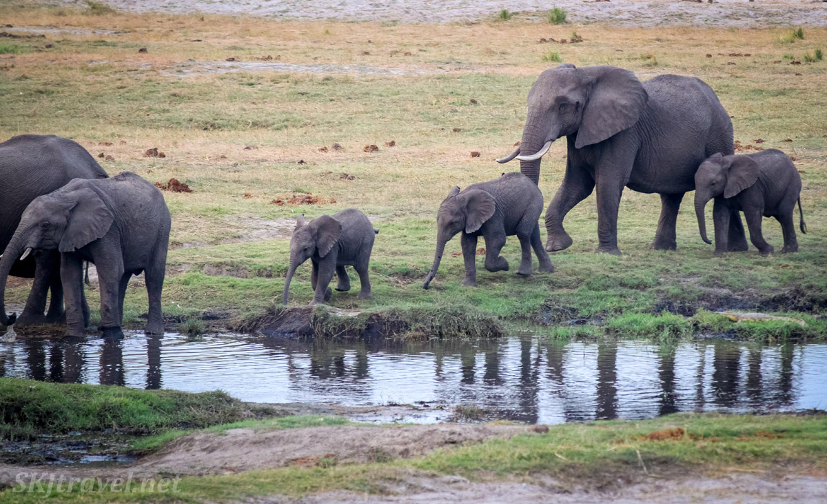 Elephant family coming to drink water in the evening, Chobe, Okavango Delta, Botswana.