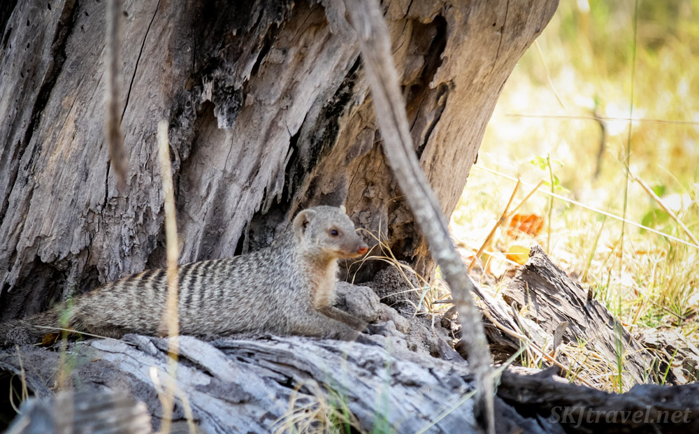 Banded mongoose lounging in the shade of a tree. Moremi, Okavango Delta, Botswana.