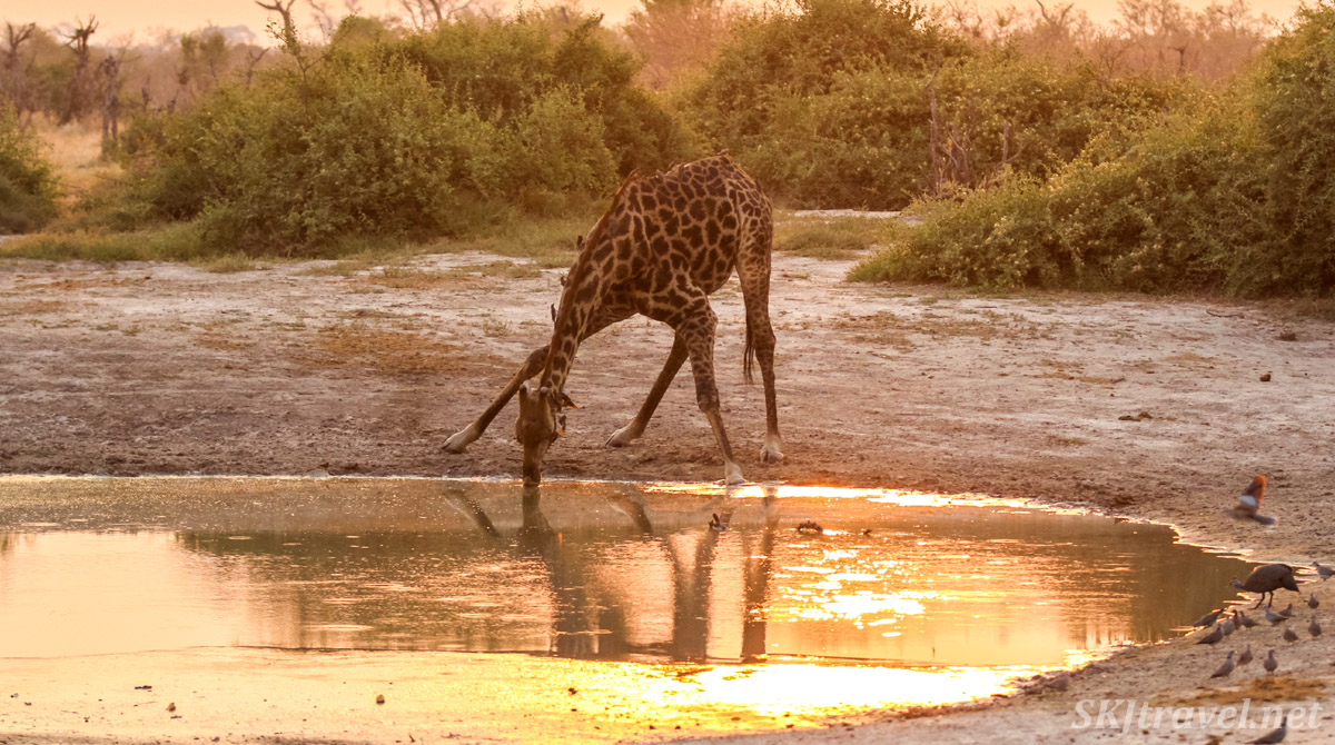 Giraffe drinking at a golden water hole as the sun sets in Savuti, Okavango Delta, Botswana.