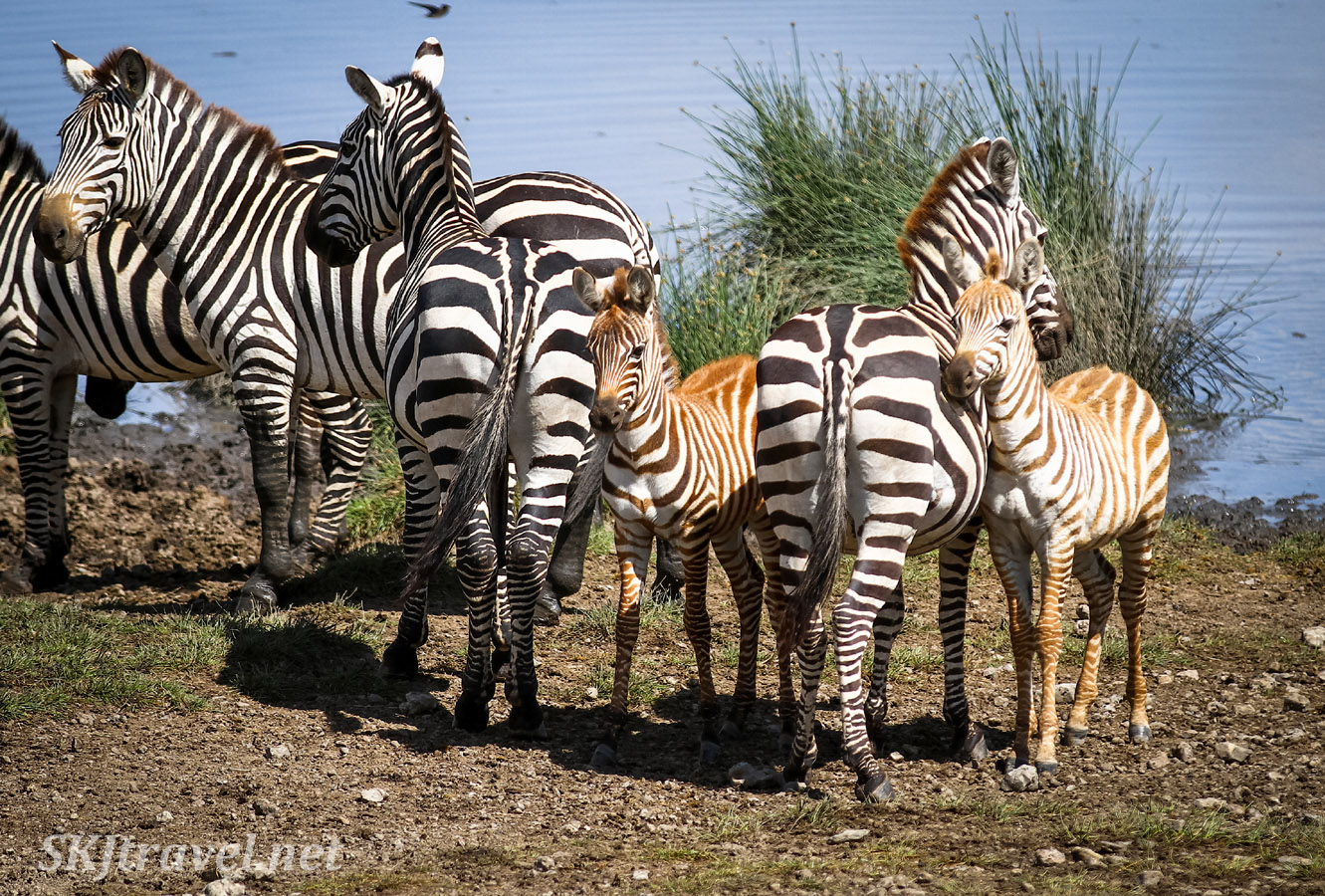 Young zebras and their moms at a water crossing, Ndutu, Tanzania.