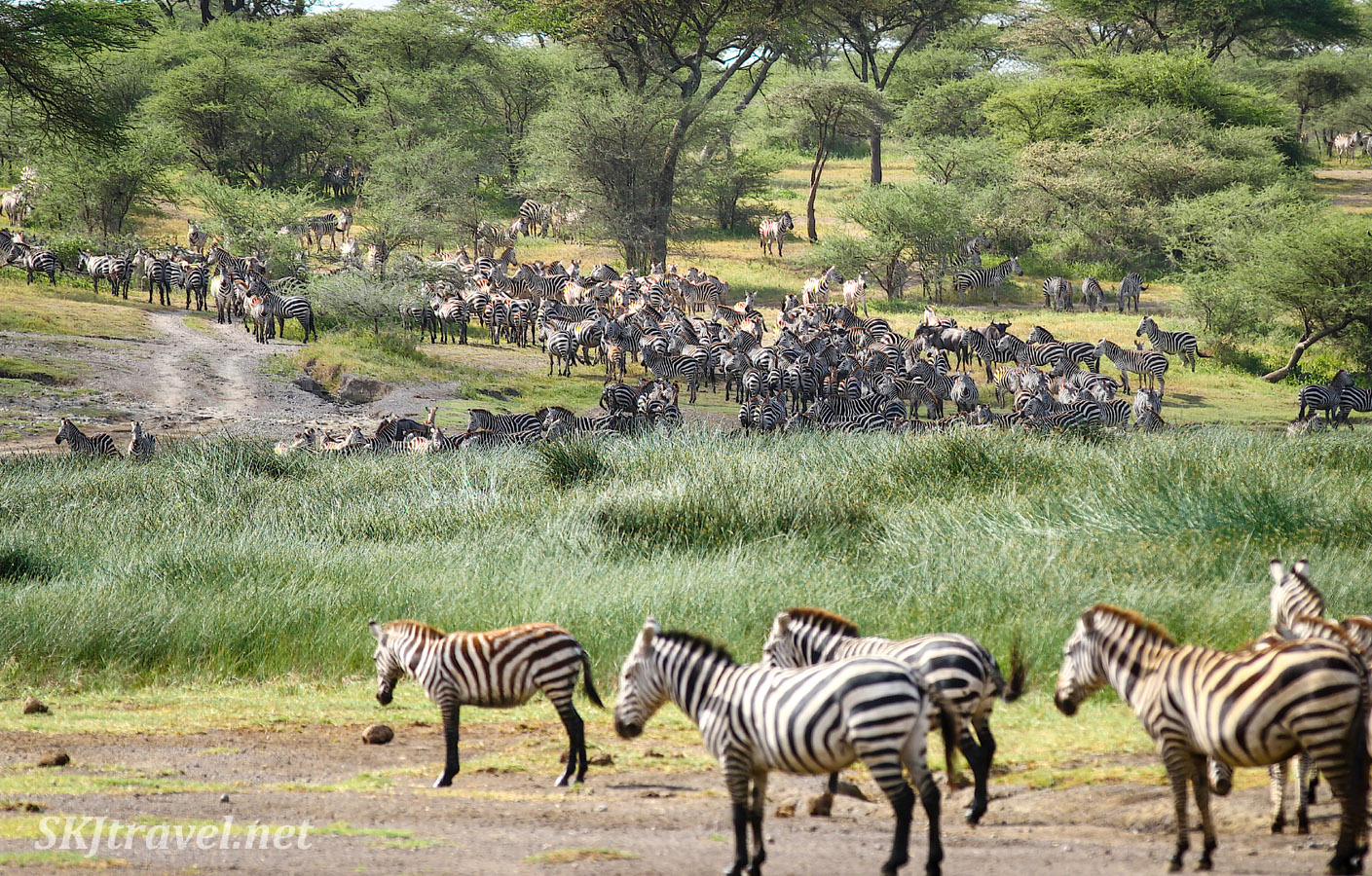Large herd of zebra coming down to water. Ndutu, Tanzania.