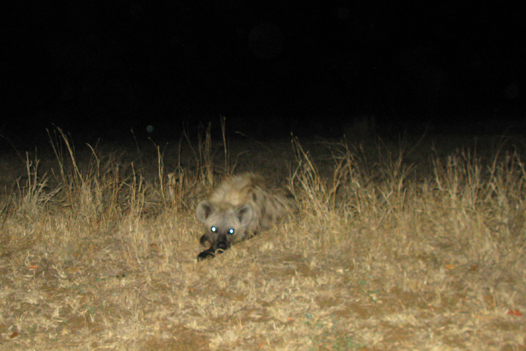 Hyena lying just outside the chainlink fence at Balule satellite camp, Kruger National Park, South Africa.