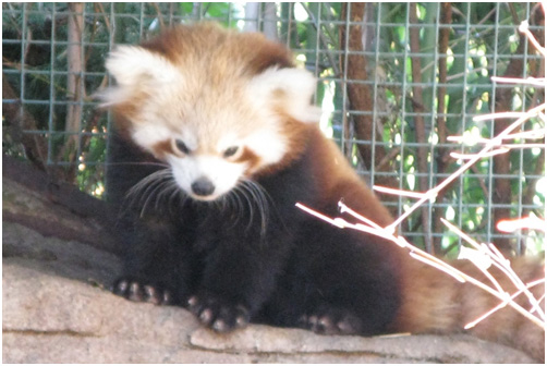 Baby red panda at the Denver Zoo, Colorado