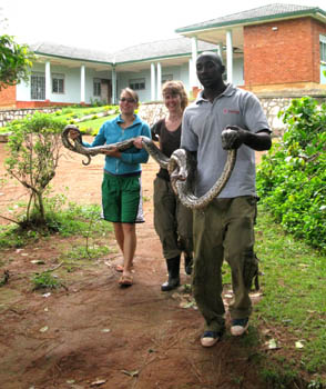 Three people to carry the very long python in ill health to the snake house at UWEC. Uganda.