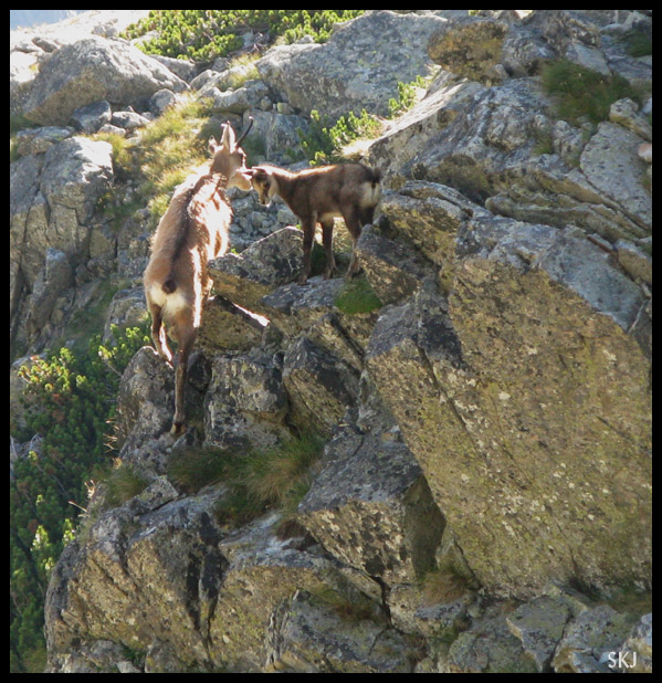 Chamois mother and baby