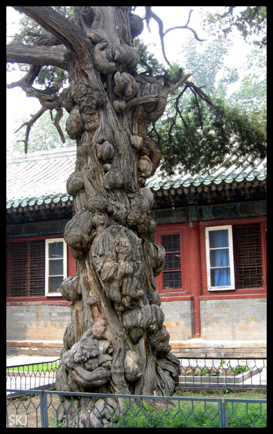 700 year old tree in the courtyard of a Confucian temple in Beijing, China.