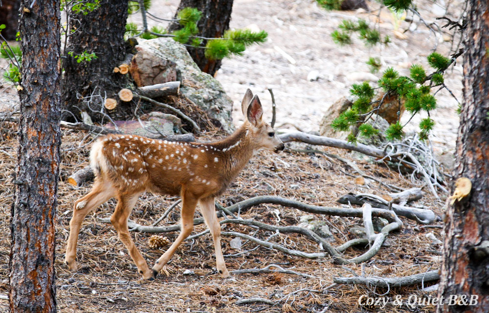 Mule deer fawn in my backyard, Nederland, Colorado.
