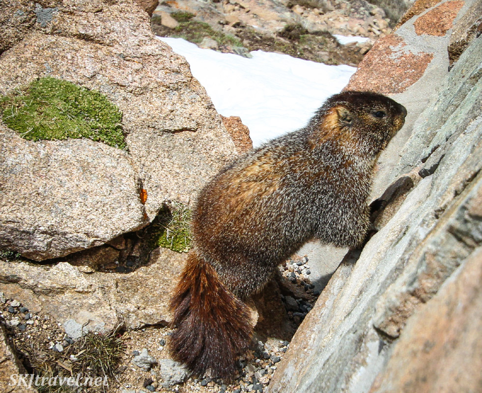 Marmot among granite rocks at Rocky Mountain National Park, Colorado.