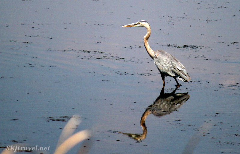 Great blue heron, Waldon Ponds, Boulder, Colorado..