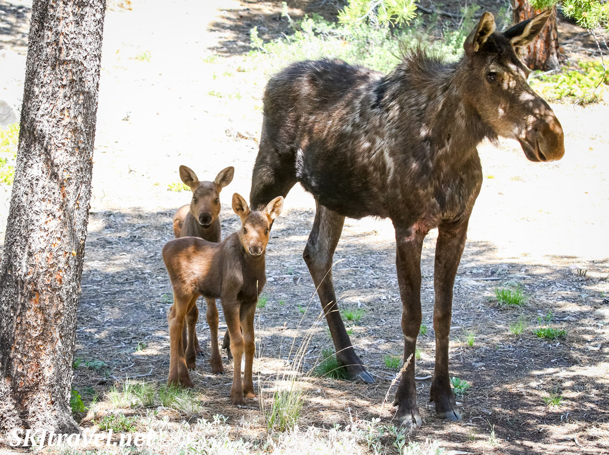 Mother moose with twin newborns. Nederland, Colorado. Rocky Mountain wildlife.