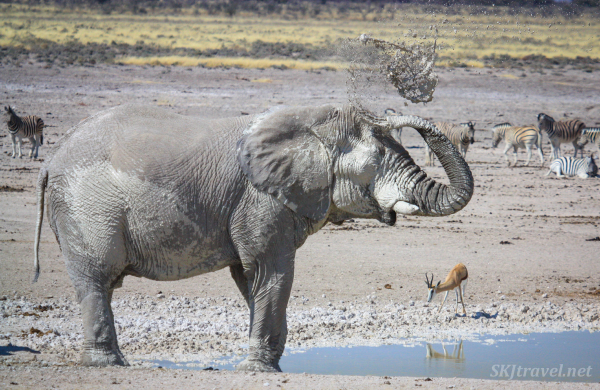 Elephant showering himself with mud at a waterhole in Etosha National Park, Namibia.