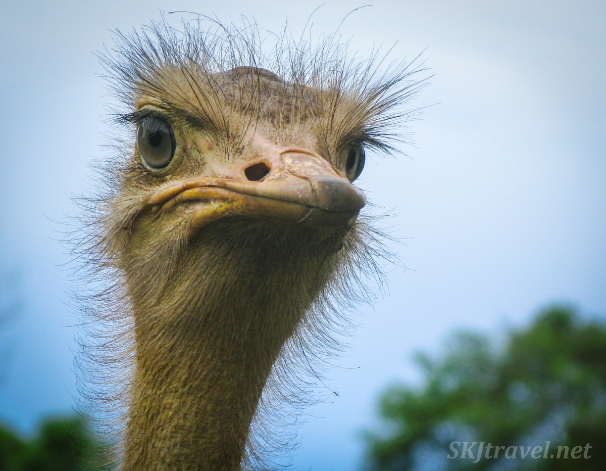 Intimidating ostrich running at me and staring me down at the Uganda Wildlife Education Center.
