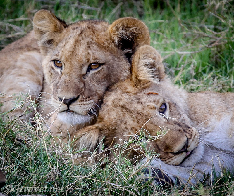 Two lion cubs snuggling with one another, Khwai Concessions, Botswana.