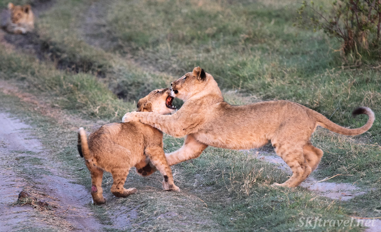Lions cubs wrestling and tussling near sunset, Khwai Concessions, Botswana.