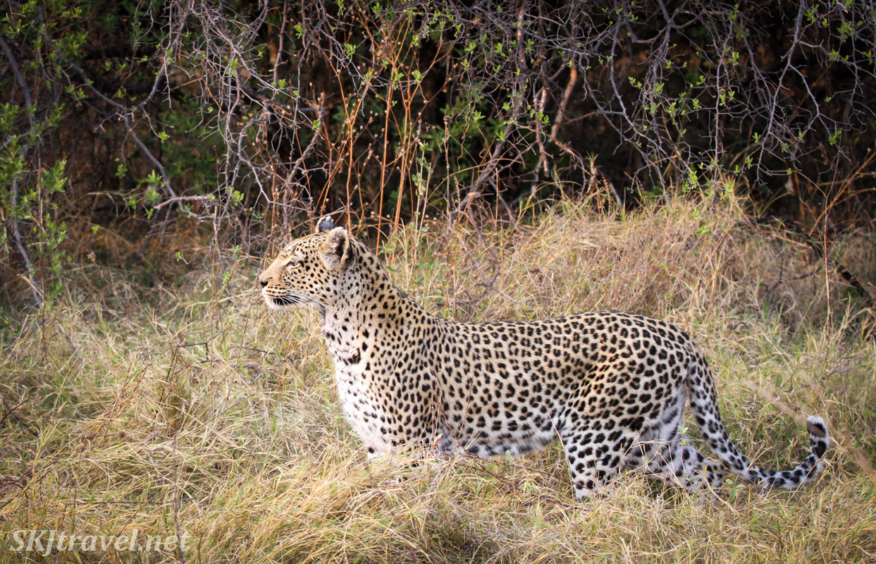 Female leopard standing in profile, Khwai Concessions, Botswana. Leopardess.