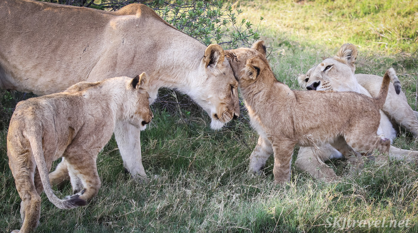 Two lionesses and two cubs in the shade at Khwai Concessions, Botswana.