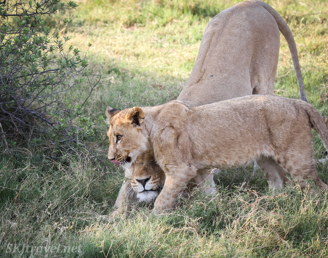 Lioness stretches beneath the chin of her cub. Khwai Concessions, Botswana.